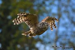 Barred Owl DSC_0255 (Ron Kube Photography) Tags: canada bird nature birds fauna nikon raptor alberta owl ornithology owls birdofprey barred barredowl strixvaria northernalberta d7100 globalbirdtrekkers ronaldok nikond7100 ronkubephotography