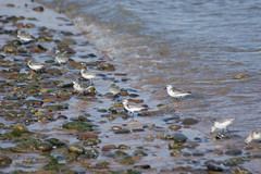 Keeping ahead of the tide. (artanglerPD) Tags: feeding tide edge waters dunlin advancing ythanestuary