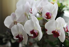 Dramatic Orchids (bigbrowneyez) Tags: white ontario canada nature petals dof orchids bokeh burgundy gorgeous ottawa blossoms dramatic natura fancy elegant fiori delicate visiting belli momshouse bellissimi tonality beautifiul dramadramatic oldworldbeauty