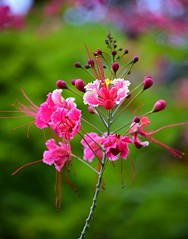 Have a Nice Sunday Friends (Ajinhari) Tags: india flower floral nikon colorful vivid nikkor chennai tamilnadu dakshinchitra peacockflower nikond7000 ajinhari nikkor55200mmafsdx