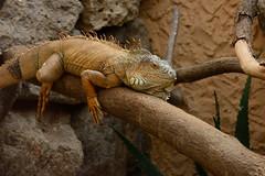Iguana iguana. Palmitos Park, Gran Canaria. (Alexander Adema) Tags: animal iguana leguaan hagedis nikon d7100 palmitos park spain spanje gran canaria fauna 18105mm f3556 dier tier animals dieren