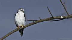Black-winged Kite in Tanzania (Raymond J Barlow) Tags: africa travel white bird tanzania wildlife adventure crater falcon swarovski ngorogoro optik raymondbarlowphototours