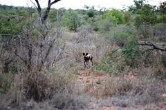 DSC_9661 (m_kabza) Tags: southafrica safari timbavati tandatula