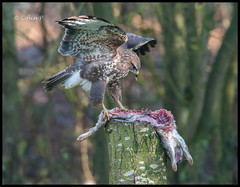 Buzzard (Buteo buteo) ......... Wild not Captive ( Marton Heath ) (Col-Page) Tags: avianexcellence