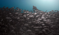 swaneeschooldvr2813 (gerb) Tags: school fish topv111 510fav topv555 topv333 underwater topv1111 topv999 scuba fv5 fisheye pi duotone topv777 diver seaofcortez tvp aquatica d7000 sigma1017fe