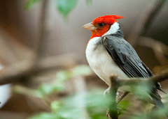 "red crested cardinal - Paroaria coronata • <a style=""font-size:0.8em;"" href=""http://www.flickr.com/photos/30765416@N06/11393101873/"" target=""_blank"">View on Flickr</a>"