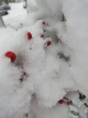 Snow-covered heavenly bamboo berries (Ruth and Dave) Tags: winter red snow weather closeup vancouver berries mountpleasant heavenlybamboo weatherphotography