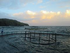 last harvest (leanish) Tags: sea work salmon cage emmac isleofbarra salmonfarming hellisay marineharvest polarcickel