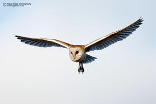 Barn Owl, Tyto alba. in flight