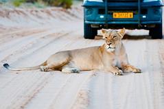 Lion Roadblock (fascinationwildlife) Tags: africa road wild nature animal mammal big desert five wildlife south natur lion safari block predator kalahari lioness südafrika löwe löwin kgalagadi