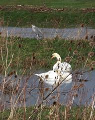 Heron & Swans (Trev Earl) Tags: heron nature canon miltonkeynes wildlife buckinghamshire swans wolverton wildbird 50d wolvertonmill ilobsterit