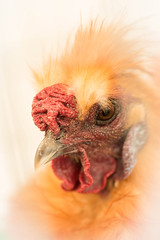 Tousled hen (pretty lady) (Solomulala | mostly weekends ;-( !) Tags: portrait pet macro chicken japanese retrato ave hen tamron90mm gallina 2014 solomulala murielcdejong