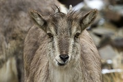 Blue Sheep (Baractus) Tags: park blue india john sheep national valley kashmir ladakh jammu oates hemis bharal tarbung
