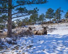 Estes Park CO 1 (gabrielphoto) Tags: mountain snow colorado rocky glacier elk estes