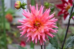 Radiant Pink Dahlia (Gilda Axelrod Photography) Tags: dahlia newyork flower floral garden petals flora pretty blossom longisland bloom kingspark kingsparkpsychiatriccenter pinkdahlia nissequogueriverstatepark gildaaxelrod
