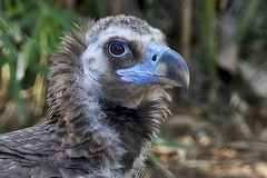 Cinerous vulture (ucumari photography) Tags: ucumariphotography riverbankszoo columbia sc south carolina february 2017 cinereousvulture aegypiusmonachus bird animal dsc6880 specanimal