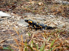 Salamandra di Vipava