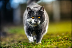 Linus (Stefan (back from Scotland, but need some time)) Tags: cat katze bokeh dof dephtoffield depthoffield shallowdepthoffield color light view viewpoint eyes fence hff tgif sonya7 sonya7ii samyang samyang1352 135mm f2 mf face