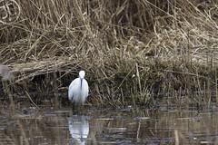 Egret (JoshJackson84) Tags: canon60d sigma150600mm europe uk england lancashire telephoto birds bird wildlife leightonmoss rspb reserve egret