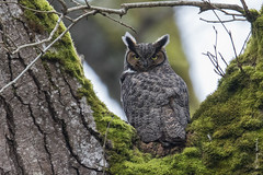 Great-horned owl (Bubo virginianus) (Tony Varela Photography) Tags: bubosp bubovirginianus ghow greathornedowl greathornedowlnest owl owlnest photographertonyvarela