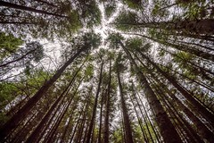 Tall Trees (mickreynolds) Tags: 2017 buckwaria comayo ireland nx500 samyang12mm westport forest wood woodland woods