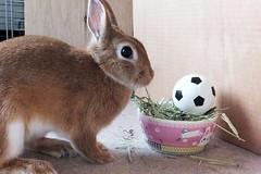 ICHIGO san 610 (Ichigo Miyama) Tags: いちごさん。うさぎ。 rabbit bunny netherlanddwarf brown ichigo ネザーランドドワーフ ペット いちご うさぎ