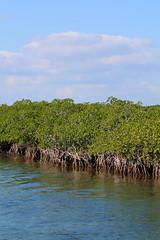 12. Mangroves (Misty Garrick) Tags: johnpennekamp johnpennekampreef johnpennekampcoralreefstatepark coralreef florida keylargofl keylargo floridakeys atlanticocean