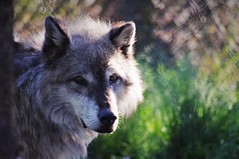Wolf Sanctuary (michael.veltman) Tags: grizzly wolf discovery center west yellowstone