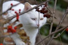 Stealth (Dave Brotherton Wildlife Photography) Tags: cats cat feline animal animals pets pet stealth tamron150600 tamron nikon ngc nationalgeographic mammals mammal davebrothertonphotography d7100 outabout garden eyes