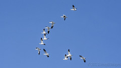 In Flight (A.Joseph Images) Tags: snowgeese bird wildlife oies nature canada quebec montreal animal outdoors flight geese nikon d7200 nikon200500mmf56edvr