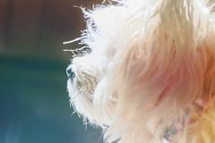 High Key Ruffy HSS (Dotsy McCurly) Tags: ruffy cute dog cairnterrier hss happysliderssunday adobe photoshop topaz software art highkey canoneos5dmarkiii tamronsp150600mm teleconverter 1200mm nj newjersey