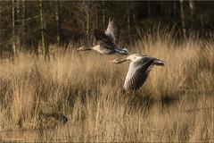 Geese taking off (Patrick Berden) Tags: geese leenderheide 2017 ganzen
