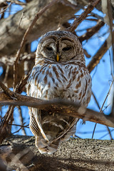 Barred Owl (Strix varia) (FJMaiers) Tags: barred owl strix