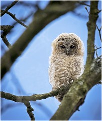 Tawny Owlet (Charles Connor) Tags: tawnyowls owls babybirds cute fluffy birdphotography ukbirds birds wildbirds beautifulbirds wildlifephotography wild naturephotography canon100400lens canon7dmk11