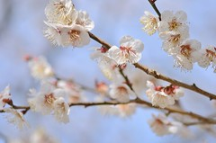 spring scent (snowshoe hare*) Tags: dsc0808 white blossoms lower flowers flower japaneseapricot plumblossoms dazaifutenmangushrine 白梅 梅 太宰府天満宮