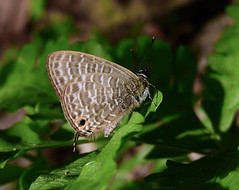 Nacaduba kurava (Transparent Six-line Blue) (TW2017-0001) (Butterflies in Still Air) Tags: 台灣 tw nacadubakuravatherasia nacadubakurava taiwan butterfly transparentsixlineblue transparent sixline blue lcy2017 lcysptw lcynsp lepidoptera lycaenidae polyommatini nantou