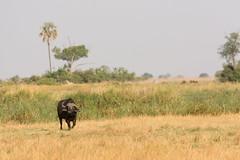 The lonely Bull (Thomas Retterath) Tags: 2016 africa africanbuffalo afrika allrightsreserved animals bigfive botswana bovidae büffel copyrightthomasretterath herbivore kwando lebala mammals natur nature pflanzenfresser synceruscaffer säugetier thomasretterath tiere wildlife