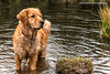 Goldie Tygo (muldermirjam) Tags: goldenretriever dog animal animals pet water woods pon lake