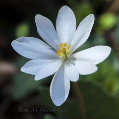 Bloodroot (jmhutnik) Tags: westvirginia kanawhastateforest wildflower white spring april petals flower