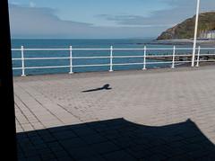 #03 gull (watcher330) Tags: aberystwyth seagull shadow promenade sea