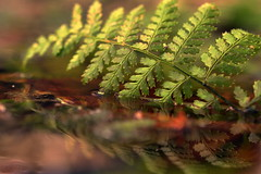 green (joy.jordan) Tags: fern puddle reflection texture woods bokeh green nature