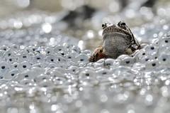 Italy, Spring time (Vittorio Ricci (thanks +++ 2.8 millions views)) Tags: ranatemporaria ranaalpina ranamontana ranarossa europeancommonfrog