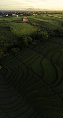 drone vertical panorama (matsandersen) Tags: ricefields bali dji drone mavic pro canggu sunrise goldehour shortcut