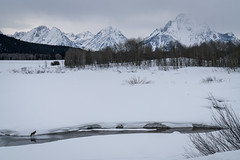 Wyoming (Jeremy Duguid) Tags: oxbow bend winter travel nature landscape grand teton national park tetons mountains snow coyote photography trees sunrise morning clouds jeremy duguid sony snake river beauty