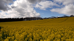 Mellow yellow. (S.K.1963) Tags: elements glorious sheffield ridgeway rapeseed fields sky yellow pub walk olympus omd em1 12 40mm pro