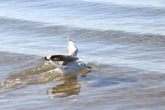 Silver gull taking off from the water (natalia.bird_nerd) Tags: bird birdinflight gull silvergull water ocean portphillipbay morningtonpeninsula blairgowrie