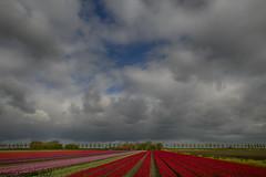 Kleur op Flakee (margie6920) Tags: tulpen tulips landschap landscape wolken clouds colours sky bloemen bollen voorjaar april