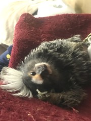 Spanky chilling out (Todd Money) Tags: exotic pwt monkey marmoset spanky