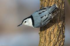 BJ8A4687--White-breasted Nuthatch (tfells) Tags: whitebreastednuthatch bird passerine songbird nj mercer princetonwoods
