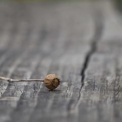 Le fil du temps (Titole) Tags: seedpod wood bench grey titole nicolefaton squareformat brown shallowdof